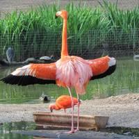 Flamingo zeigt sein Gefieder