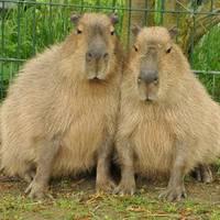 Wasserschweine in Pose
