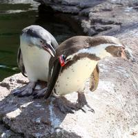 Humboldt-Pinguin © Prof. Klaus Eulenberger
