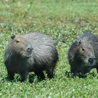 Wasserschwein (Capybara) © Prof. Klaus Eulenberger